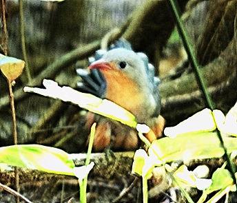 Красноклювая кустарниковая кукушка. Phaenicophaeus javanicus. Red-billed Malkoha