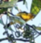 Чернокрылая йора (Aegithina tiphia) Common Iora
