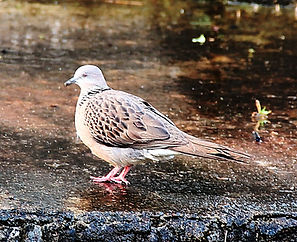Пятнистая горлица	Streptopelia chinensis Spotted Dove