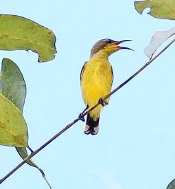 Желтобрюхая нектарница (Cinnyris jugularis) Olive-backed Sunbird. Самка