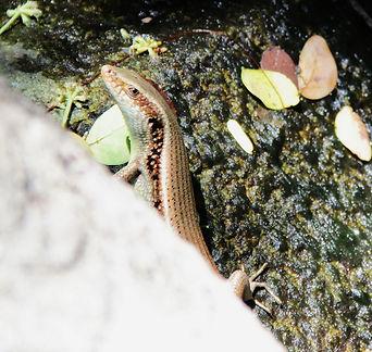 Лесной сцинк (Sphenomorphus maculatus) S