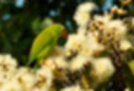 Loriculus vernalis.jpg