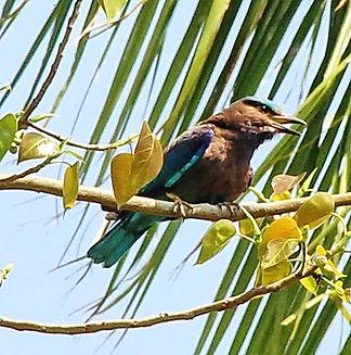 Бенгальская сизоворонка (Coracias bengha