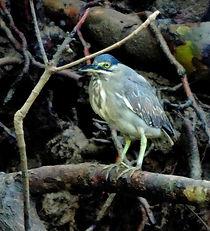 Кваква зеленая  Little Heron  Butorides striata