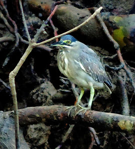 Кваква зеленая. (Butorides striata).Striated Heron