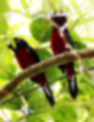 Красно-чёрный ширококлюв (Cymbirhynchus macrorhynchos) Black-and-red Broadbill