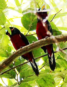 Красно-чёрный ширококлюв (Cymbirhynchus macrorhynchos) Black-and-red Broadbill
