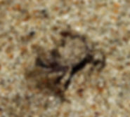 Краб Scopimera sp. Sand bubbler crab