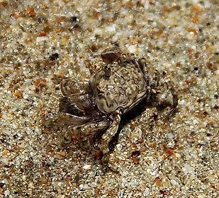 Краб Scopimera sp. Sand bubbler crab