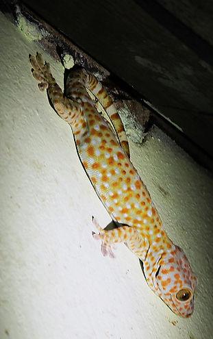 Геккон токи (Gekko gecko) Tokay gecko .