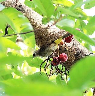 Желтобрюхий бюльбюль (Pycnonotus goiavie
