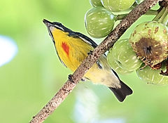 Персидский цветосос (Prionochilus percussus), Crimson-breasted Flowerpecker. Самец.