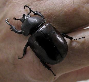 Дупляк Xylotrupes gideon – female