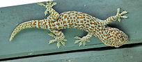 Tokay gecko. Gekko gecko