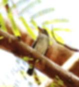 Сибирская мухоловка (Muscicapa sibirica) Dark-sided Flycatcher