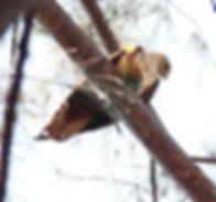 Браминский коршун. (Haliastur indus) Brahminy Kite