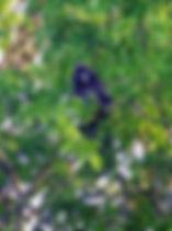 Очковый тонкотел (Trachypithecus obscurus)