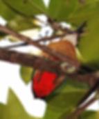 Мангровая питта. Pitta megarhyncha. Mangrove Pitta