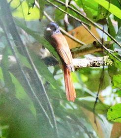 Райская мухоловка (или длиннохвостая) мухоловка  (Terpsiphone paradisi) Indian paradise flycatcher