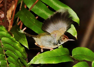 Славка-портниха (Orthotomus sutorius) Common Tailorbird