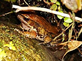 Белогубая лягушка (Hylarana labialis) White-lipped frog