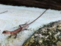 Калот-кровосос (Calotes versicolor) Oriental garden lizard. Famile