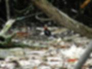 Суматранская синехвостая питта (Pitta irena)