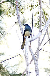 Сорочий шама-дрозд (Copsychus saularis) Oriental Magpie-Robin
