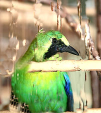 Синекрылая листовка (Chloropsis cochinchinensis)  Blue-winged Leafbird