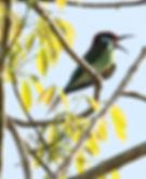 Малайская шурка (Merops viridis)