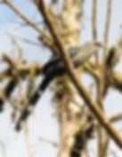 Кокиль. Green-billed Malkoha (Phaenicophaeus tristis)