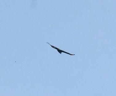 Хохлатый Орел Блифа (Nisaetus alboniger) Blyth's Hawk-Eagle