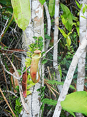 Khao Pra-Bang Khram. Непентес.