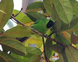 Большая (зелёная) листовка (Chloropsis s