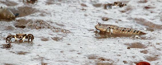 Рогатыйкраб-призрак (Ocypode ceratophthalma) иИлистыйпрыгун (Boleophthalmus pectinirostris)
