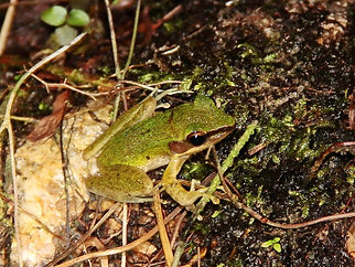 Белогубая лягушка (Hylarana labialis)