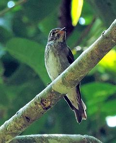 Ширококлювая мухоловка.  Muscicapa dauurica siamensis. Asian Brown Flycatcher