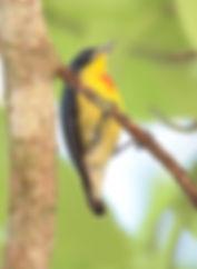 Персидскийцветосос(Prionochilus percussus),Crimson-breasted Flowerpecker. Самец.