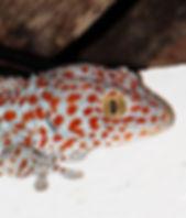 Геккон токи (Gekko gecko)  Tokay gecko