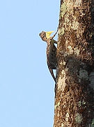 Летучий дракон (Draco volans) Сommon flying dragon