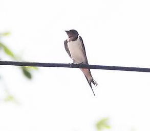 Деревенская ласточка (касатка).Hirundo rustica. Barn Swallow