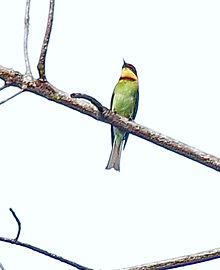 Буроголовая щурка (Merops leschenaulti) Chestnut-headed Bee-eater