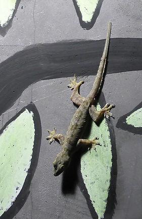 Плоскохвостый домовый геккон (Hemidactylus platyurus) Flat-tailed house gecko