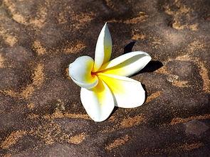 Цветок Плюмерии Лаос