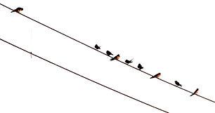 Огненнобрюхая ласточка. Cecropis badia. Rufous-bellied Swallow