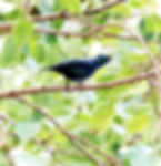 Азиатский блестящий скворец (Aplonis panayensis) Asian Glossy Starling