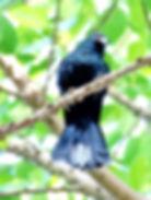 Коель (Eudynamys scolopaceus) Asian Koel