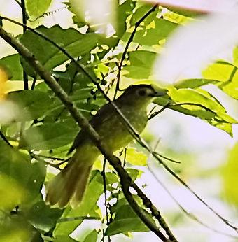 Малайский бюльбюль  (Tricholestes crinig