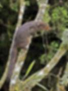 Краснощёкая белка (Dremomys rufigenis) R