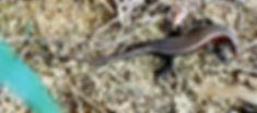 Сцинк Азиатская мабуя. Bronze grass skink or bronze mabuya (Eutropis macularia) Таиланд